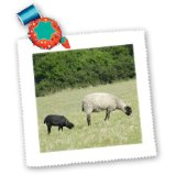 3dRose qs_81282_3 Denmark, Bornholm, Sheep, Farm Animal Eu07 CMI0091 Cindy Miller Hopkins Quilt Square, 8 by 8-Inch